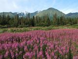 Wallpaperi Th_56490_Fireweed7_Kluane_National_Park8_Canada_122_923lo
